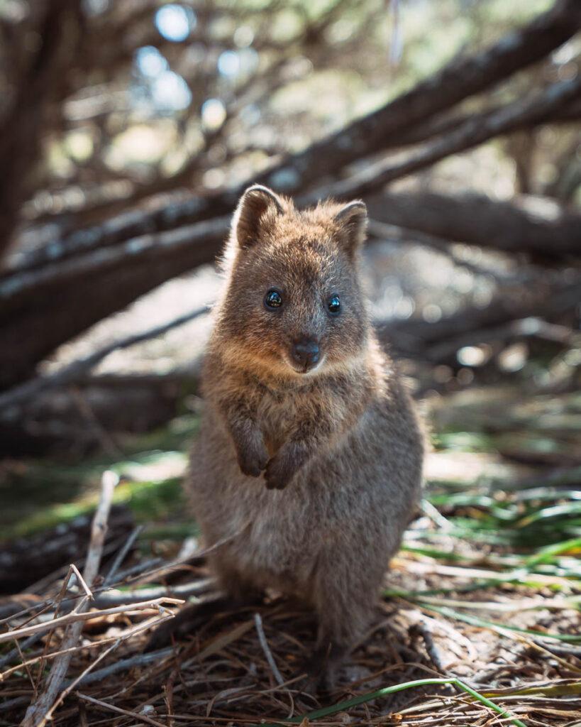 Quokka Rottnest Island Western Australia road trip